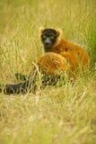 Lemure nell'erba 5 Immagini Stock