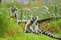 Lemure nell'erba, catta delle lemure delle lemure catta Immagine Stock