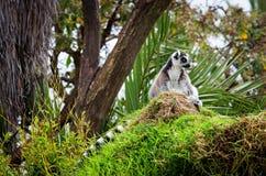 Lemure nell'erba, catta delle lemure delle lemure catta Fotografia Stock Libera da Diritti