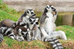 Lemure nell'erba, catta delle lemure delle lemure catta Immagini Stock Libere da Diritti