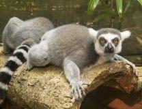 Lemure nella foresta pluviale Immagine Stock
