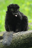 Lemure nere favorite Immagini Stock Libere da Diritti