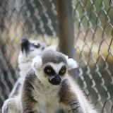 lemure notturne dei primati di strepsirrhine immagini stock libere da diritti
