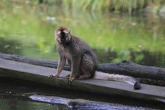 lemure Rosso-fronteggiate Fotografia Stock Libera da Diritti