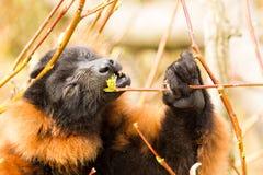 lemure Rosso-gonfiate (rubriventer di Eulemur) Fotografia Stock Libera da Diritti