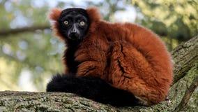 Lemure rosso--Ruffed Fotografia Stock Libera da Diritti