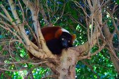 Lemure rosso--Ruffed Immagini Stock Libere da Diritti