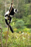 Lemure ruffed in bianco e nero Immagini Stock Libere da Diritti