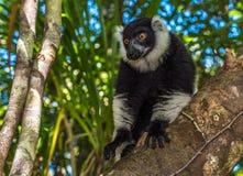 Lemure ruffed in bianco e nero del Madagascar Fotografie Stock