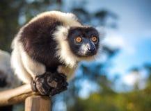 Lemure ruffed in bianco e nero del Madagascar Immagini Stock