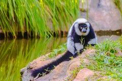 Lemure ruffed in bianco e nero endemiche (subcinct di variegata di Varecia Fotografie Stock Libere da Diritti