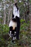 Lemure ruffed in bianco e nero, Madagascar Fotografie Stock