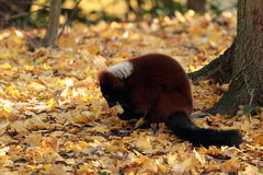 Lemure ruffed rosso. Fotografie Stock