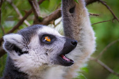 Lemure selvagge che sono curiose Fotografie Stock Libere da Diritti