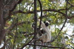 Lemure Sifaca Parco naturale di Tsingy de Bemaraha Immagini Stock Libere da Diritti