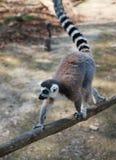 Lemure sole che camminano su un ramo di legno con una coda alzata Lemure catta che camminano lungo un recinto di legno fotografia stock