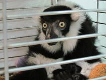 Lemure sorprese che si siedono nei passanti di sorveglianza di una gabbia immagine stock