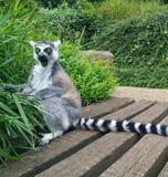 Lemure sorprese con la bocca aperta Fotografia Stock