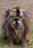 Lemure stringenti a sé Immagine Stock Libera da Diritti