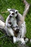 Lemure su un ramo Immagini Stock
