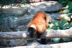 Lemure sul ramo Immagine Stock