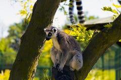 Lemure sull'albero Fotografia Stock