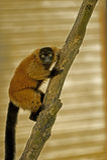 Lemure sull'albero Fotografie Stock Libere da Diritti
