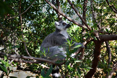 Lemure sull'albero Immagini Stock
