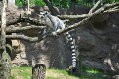 Lemure sull'albero con il fondo dell'erba verde fotografia stock libera da diritti