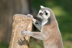 Lemure sveglie che giocano con un ceppo Fotografia Stock