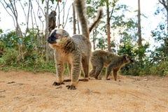 Lemure a terra Fotografie Stock