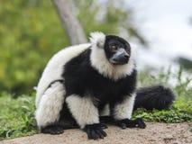 Lemure Varecia (Varecia Variegata) Stock Photography