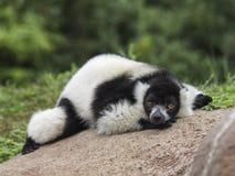 Lemure Varecia & x28 Varecia Variegata& x29  στοκ εικόνες