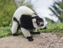 Lemure Varecia (Varecia Variegata) Royalty Free Stock Photo
