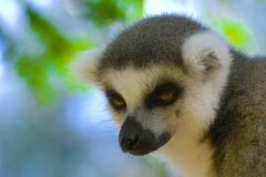 Lemure vicine su nel Madagascar Fotografia Stock