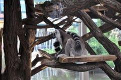 Lemure wraps tails around body Royalty Free Stock Photo