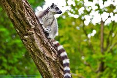 Lemures, das auf Niederlassung im Zoo in Augsburg in Deutschland sitzt stockfoto