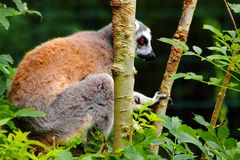 Lemures sitting in branch in zoo in germany royalty free stock photography