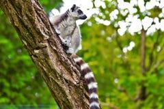 Lemureszitting op tak in dierentuin in Augsburg in Duitsland stock foto
