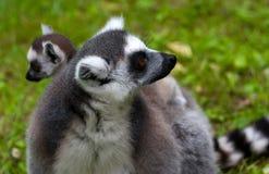 Lemurfamilie Lizenzfreies Stockfoto
