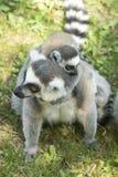 Lemurfamilie Stockfoto