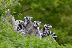 Lemurfamilie Stockfotografie