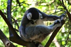 Lemuri de Madagascar Fotos de archivo libres de regalías