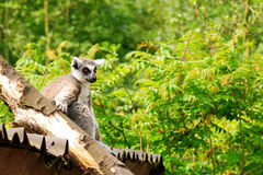 Lemuridae. A Lemuridae sitting on a fence near a log or tree branch. Family: Lemuridae Royalty Free Stock Photos