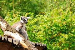 Lemuridae Royalty Free Stock Photos