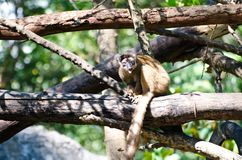 Lemuriformes monkeys. Stock Image