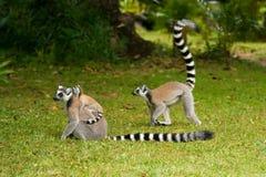 lemurmadagascar maki Arkivfoto