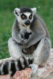 Lemurmutter mit Schätzchen stockbilder