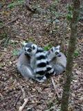 Lemurmutter und -schätzchen Stockfotos
