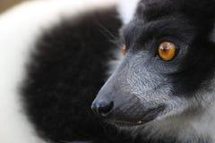 Lemurportrait Stockfotos